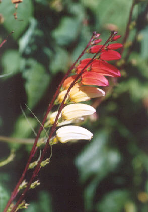 Picture of Ipomoea lobata