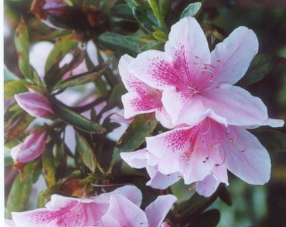 Picture of Rhododendron sp.