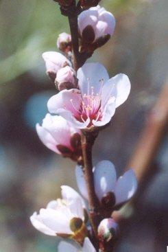 Picture of Prunus sp.