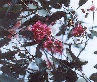 Picture of Eucalyptus sideroxylon