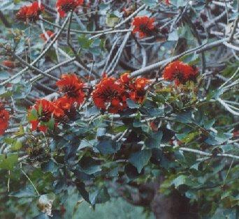Picture of Erythrina crista-galli