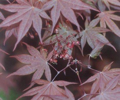 Picture of Acer palmatum var. atropurpureum