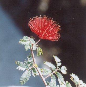 Picture of Calliandra californica