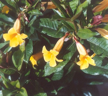 Picture of Allamanda neriifolia