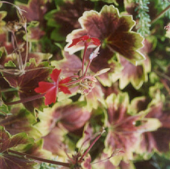 Picture of Pelargonium x hortorum