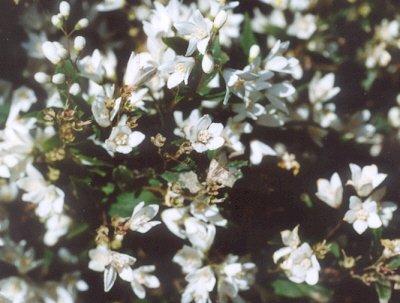 Picture of Deutzia gracilis