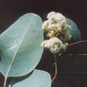 Picture of Eucalyptus albens