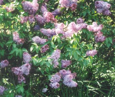Picture of Syringia vulgaris