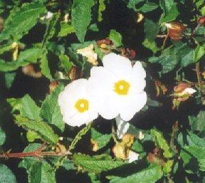 Picture of Cistus x hybridus
