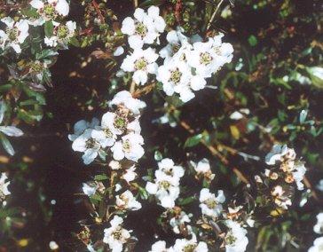 Picture of Leptospermum sp.