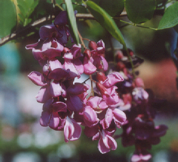 Picture of Robinia x ambigua