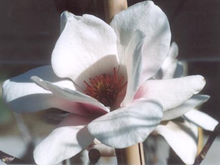 Picture of Magnolia sp.