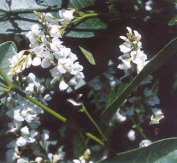 Picture of Hardenbergia alba