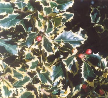 Picture of Ilex aquifolium var. argenteo marginata