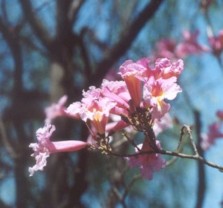 Picture of Tabebuia heterophylla