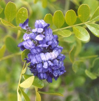 Picture of Sophora secundiflora