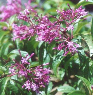 Picture of Fuchsia arborescens