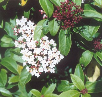 Picture of Viburnum