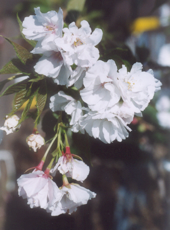 Picture of Prunus serrulata