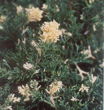 Picture of Juniperus chinensis