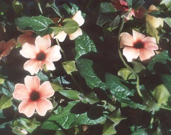Picture of Thunbergia