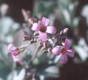 Picture of Kalanchoe pumila