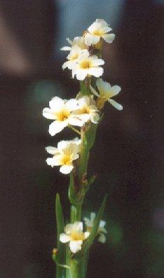 Picture of Sisyrinchium striatum