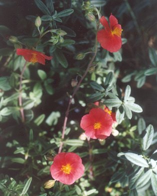 Picture of Helianthemum nummularium