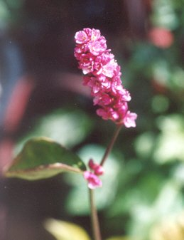 Picture of Polygonum japonica