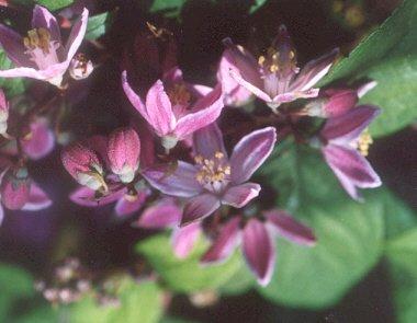 Picture of Deutzia hybrid