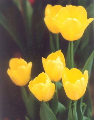 Picture of Tulipa hybrid