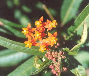 Picture of Asclepias tuberosa