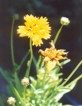 Picture of Coreopsis lanceolata