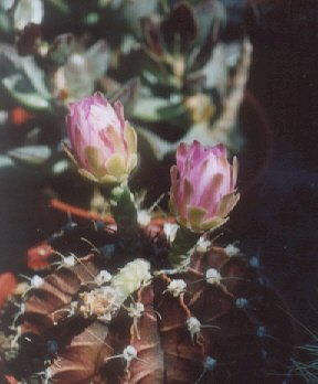 Picture of Gymnocalycium