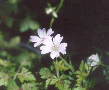 Picture of Geranium x oxonianum