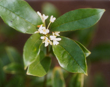 Picture of Osmanthus fragrans