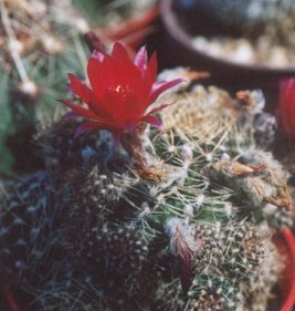 Picture of Coryphantha