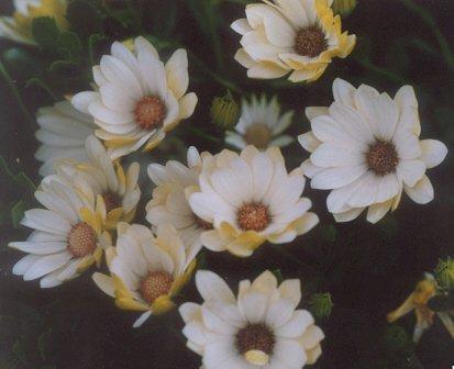 Picture of Osteospermum ecklonis