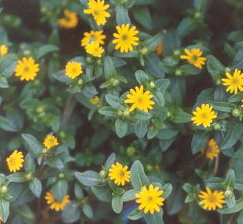 Picture of Sanvitalia procumbens