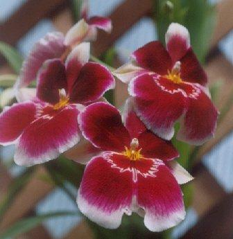 Picture of Miltoniopsis