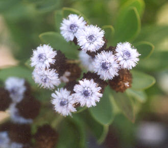 Picture of Globularia x indubia