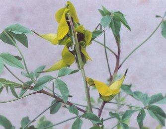 Picture of Crotalaria agatiflora