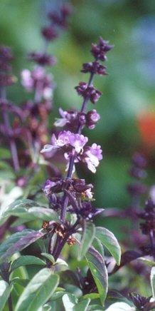 Picture of Ocimum basilicum
