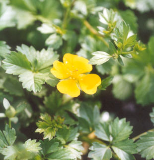 Picture of Potentilla neumanniana