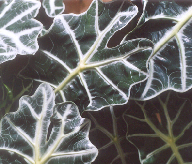 Picture of Alocasia