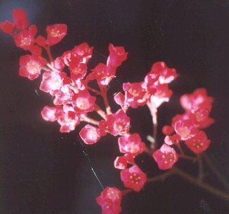Picture of Heuchera hybrid