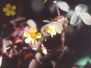 Picture of Oxalis sp.