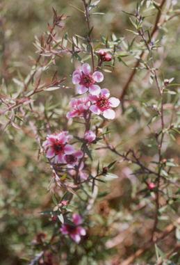 Picture of Leptospermum scoparium
