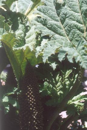 Picture of Gunnera tinctoria