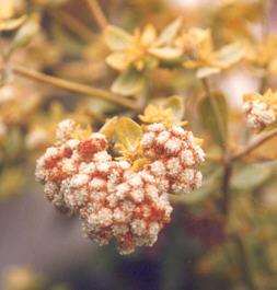 Picture of Eriogonum giganteum
